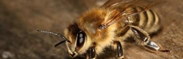 """""""ほぼ養蜂家""""が教える驚くべきミツバチの生態。思わず心が痛くなるオス蜂の性(さが)"""