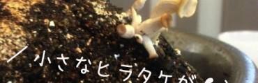 コーヒー粕を再利用して自宅クローゼットでキノコを育てていたときの話(栽培編)