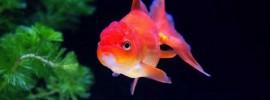 未来の農業「アクアポニックス」で選ばれる代表的な魚3種類